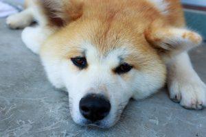 犬も心臓病になる 犬の心臓病 初期症状はどんな症状