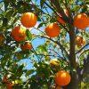 橙とみかんの違い!似てるけどどこが異なる?鏡餅にのせるのは?